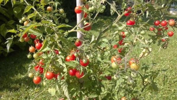 tomate rote murmel